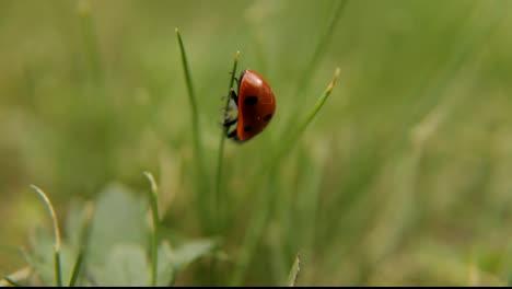 ladybug-ladybird