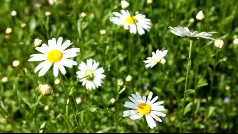 Marguerite-