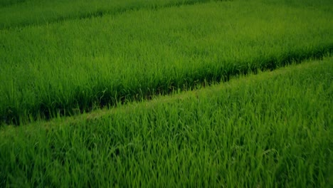 Flying-Over-Rice-Paddies-01